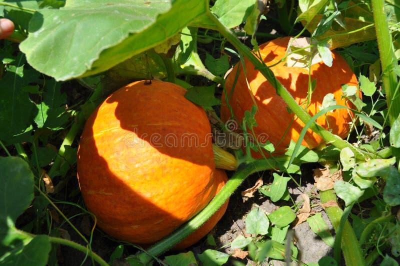 Мотивы осени, официальный праздник в США в память первых колонистов Массачусетса - яркая круглая оранжевая тыква стоковая фотография rf