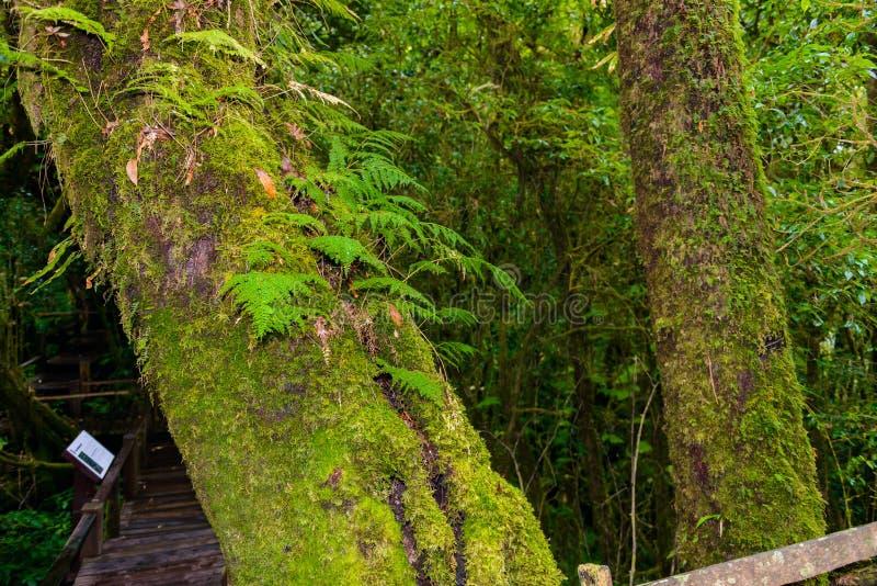 Мох, дерево папоротника в следе природы Luang Ka Ang стоковая фотография rf