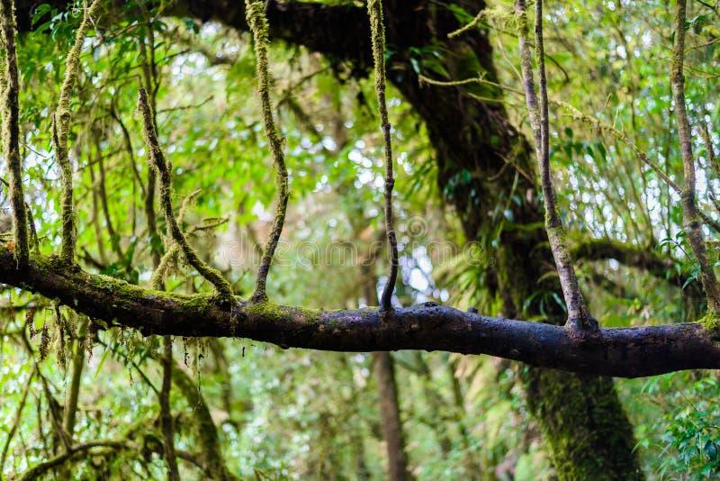 Мох, дерево папоротника в следе природы Luang Ka Ang стоковое изображение rf