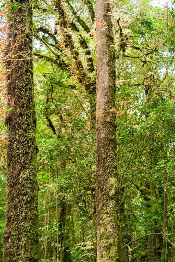 Мох, дерево папоротника в следе природы Luang Ka Ang стоковые изображения