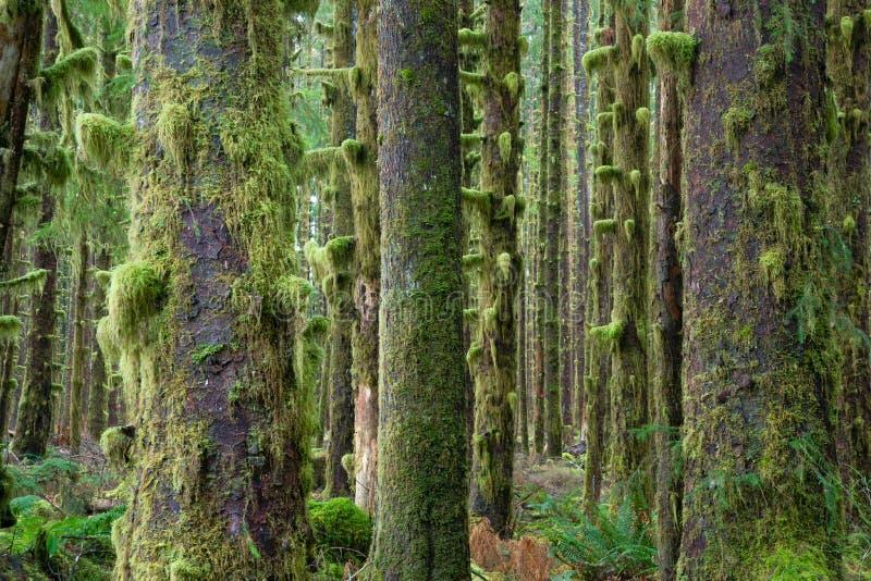 Мох зеленого цвета леса деревьев кедра глубокий покрыл тропический лес Hoh роста стоковые фотографии rf
