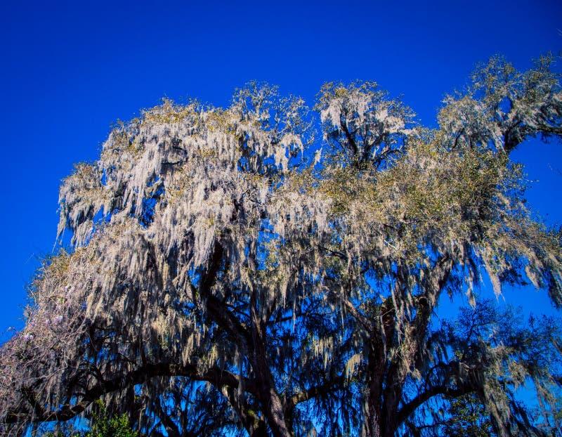 Мох на дереве Южной Каролине стоковое изображение rf