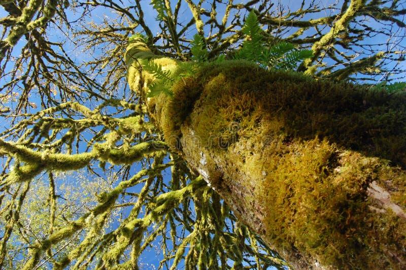 Мох покрыл дерево стоковое изображение