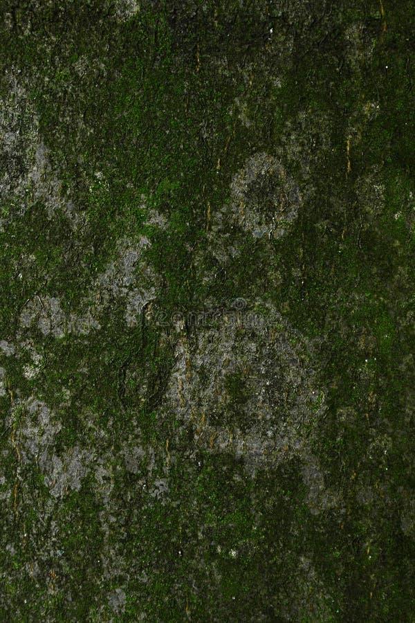 Мох покрыл деревянную текстуру европейского бука или Fagus Sylvatica Fastigiata общего бука стоковые изображения rf