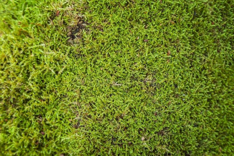 мох предпосылки зеленый стоковые изображения rf