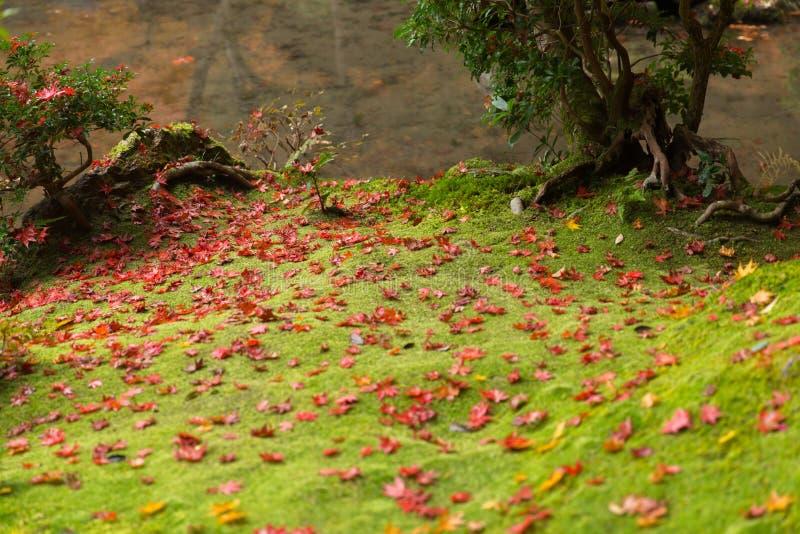 Мох тропического леса зеленый с кленовым листом в лесе осени Японии стоковое изображение