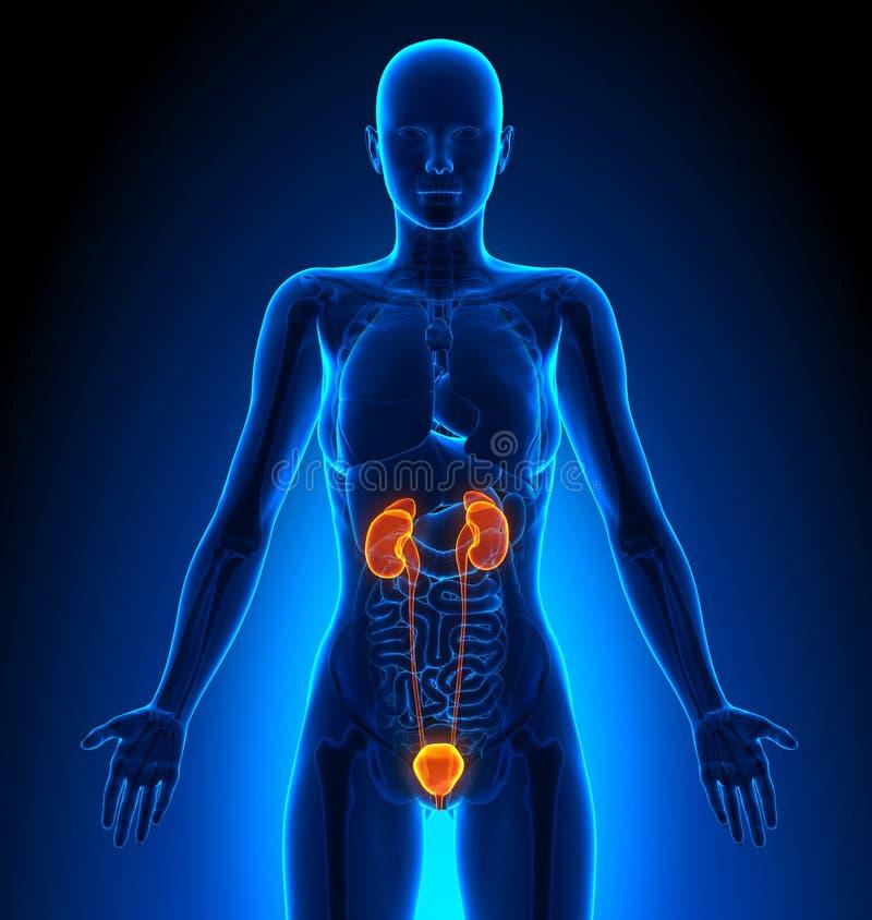 Мочевыделительная система - женские органы - человеческая анатомия иллюстрация вектора