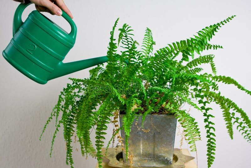 мочить папоротника садовничая зеленый стоковая фотография rf