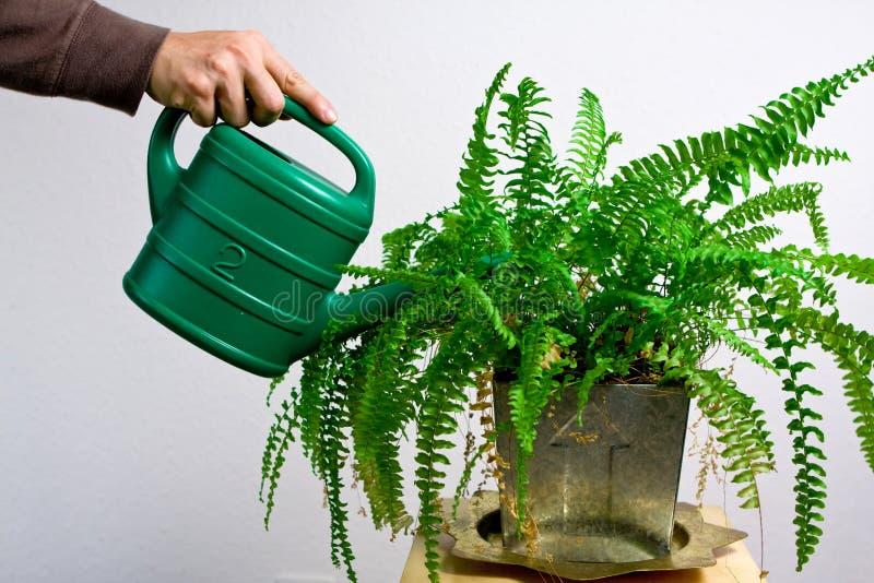 мочить папоротника садовничая зеленый стоковые фотографии rf