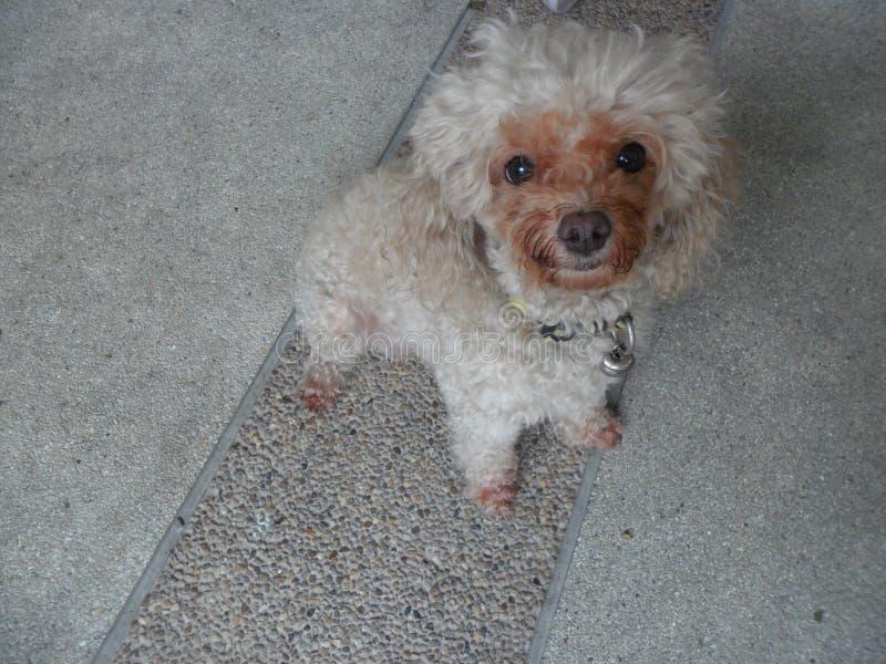 Моя собака пуделя стоковая фотография rf