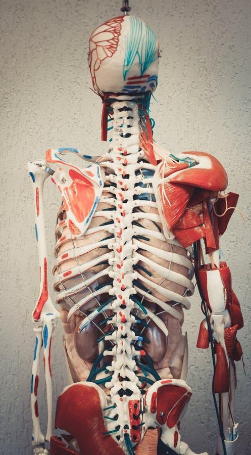 Модель человеческого тела анатомии стоковая фотография rf