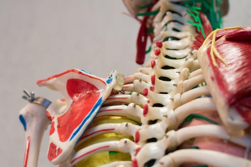 Модель человеческого тела анатомии стоковое фото rf