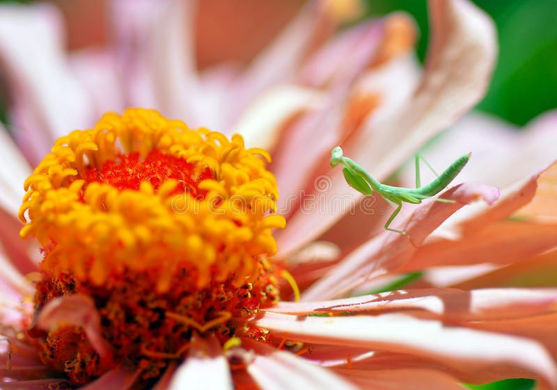 Download Молить, Mantis, насекомое, цветок Стоковое Изображение - изображение насчитывающей молить, завод: 41661429