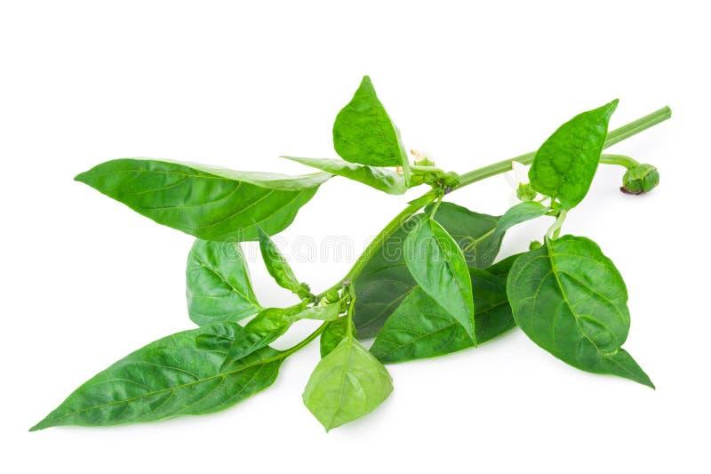 Download Молодая ветвь перца с зелеными лист Стоковое Изображение - изображение насчитывающей рост, природа: 81808567