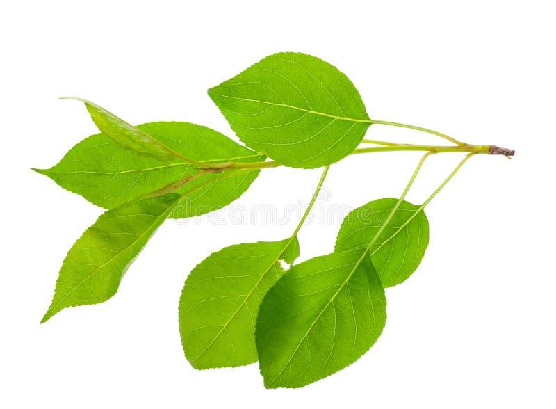 Download Молодая ветвь яблони стоковое фото. изображение насчитывающей вал - 81809690