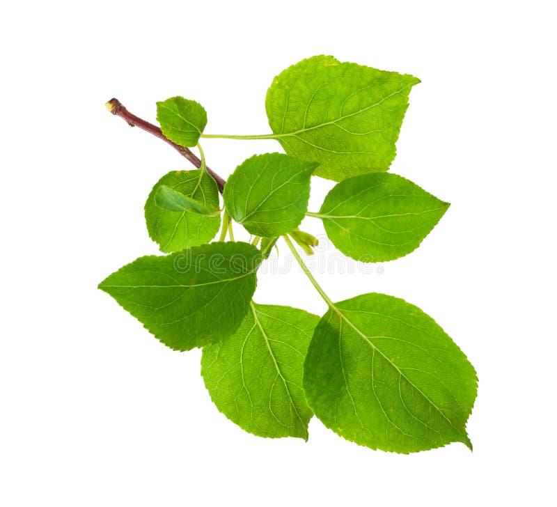 Download Молодая ветвь яблони стоковое изображение. изображение насчитывающей природа - 81809709