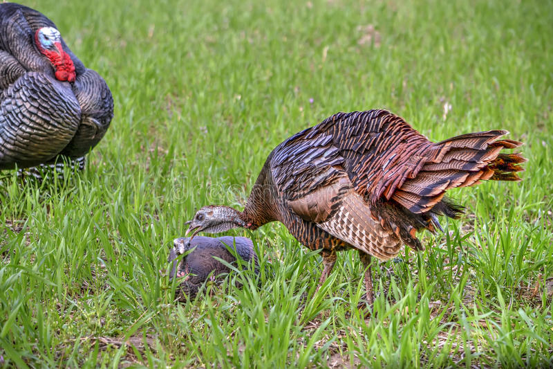 Молодая восточная одичалая курица Турции стоковые изображения rf