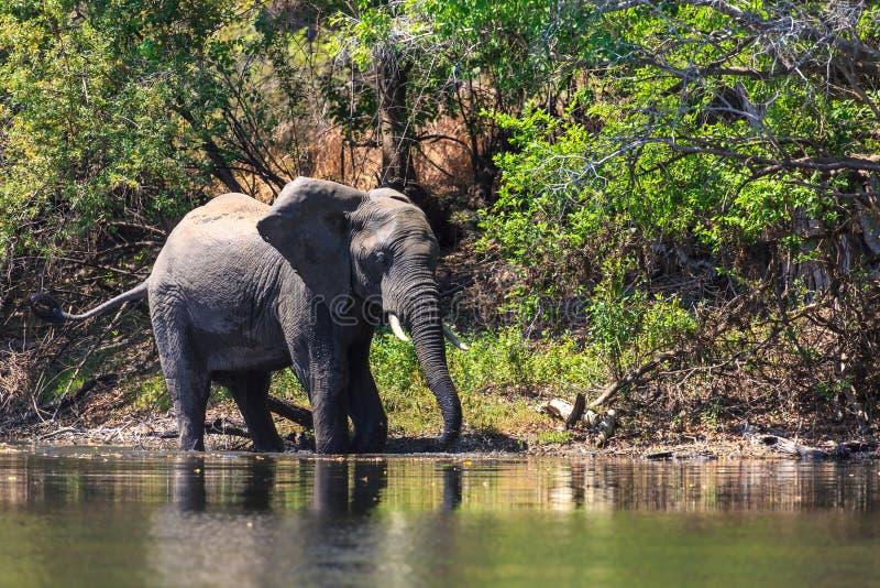 Молодая вода dring слона в реке стоковое фото