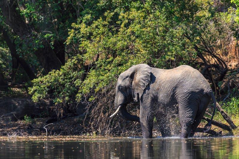 Молодая вода dring слона в реке стоковое фото rf