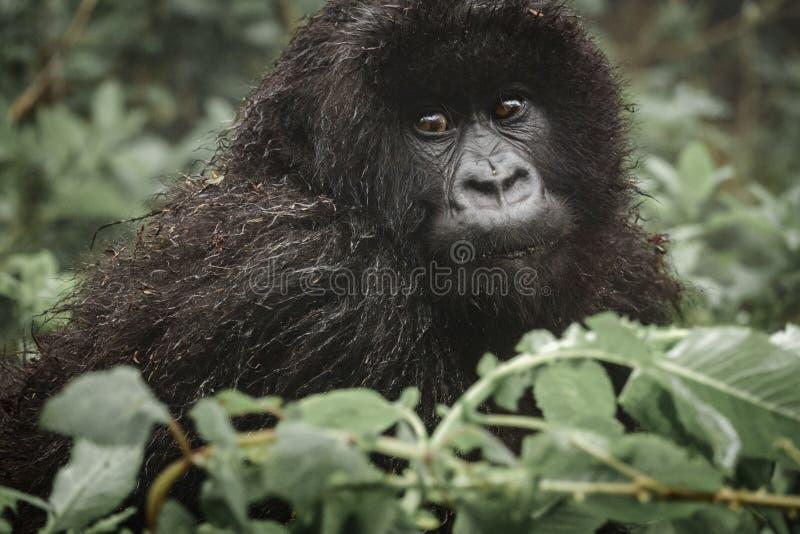 Молодая горилла горы в лесе стоковое изображение
