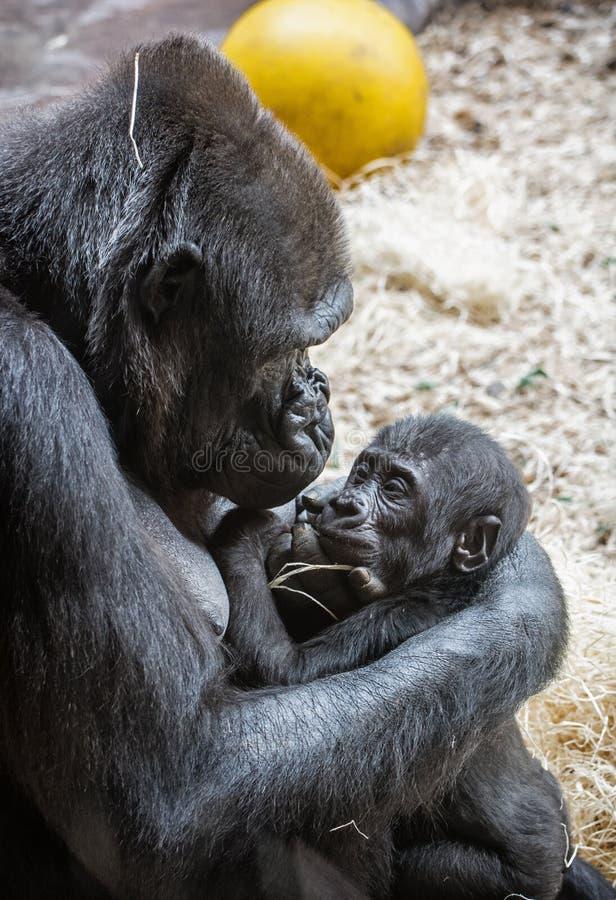 Молодая горилла западной низменности - горилла гориллы гориллы - мать стоковая фотография