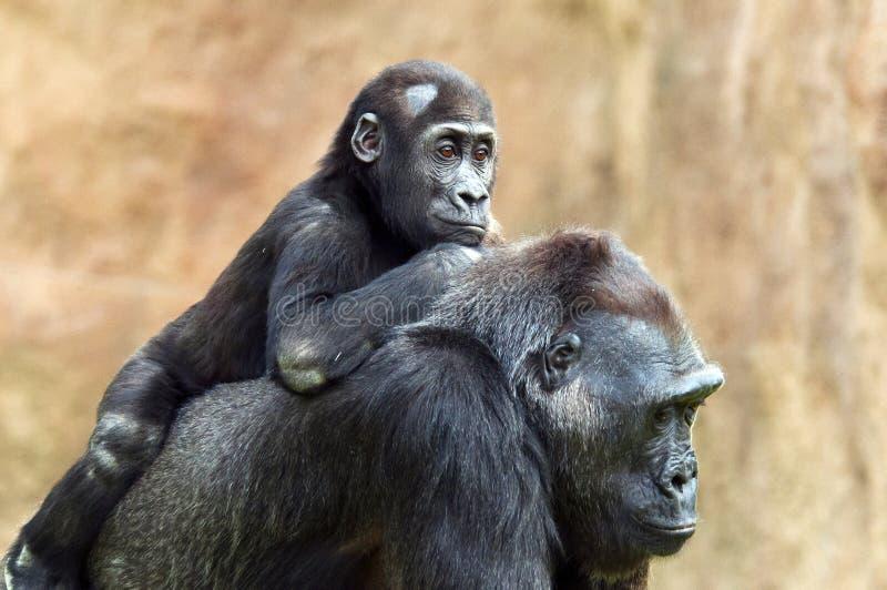 Молодая горилла и своя мать стоковое фото rf