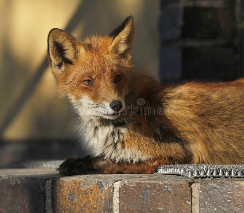 Молодая городская лиса стоковое фото rf