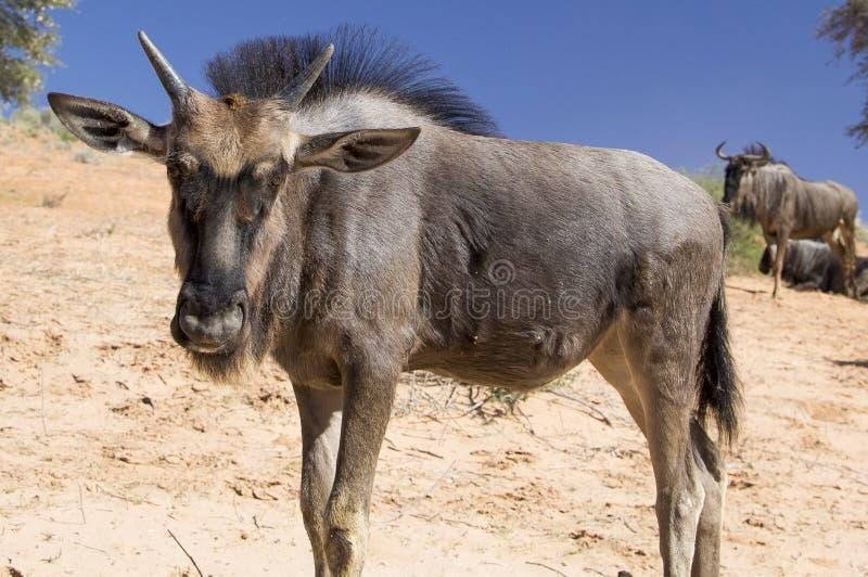Молодая голубая антилопа гну стоковое изображение rf