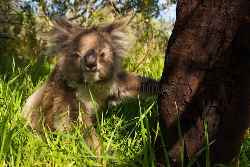 Молодая коала стоковое изображение rf
