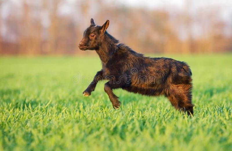 Молодая коза в зеленом луге стоковая фотография