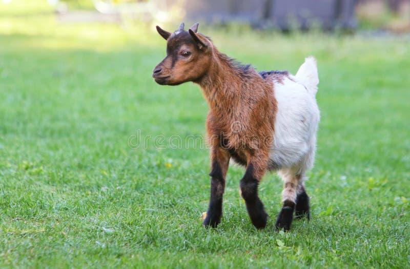 Молодая коза в зеленом луге стоковое фото