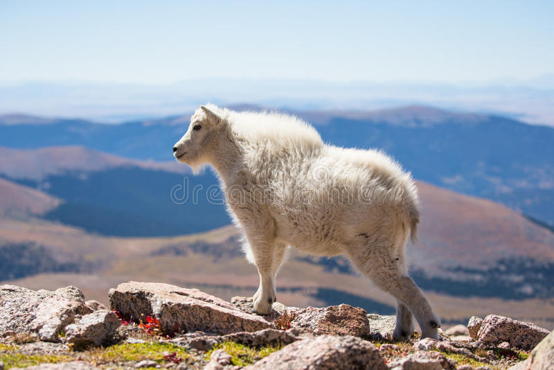 Молодая коза горы в изображении ландшафта стоковые фотографии rf