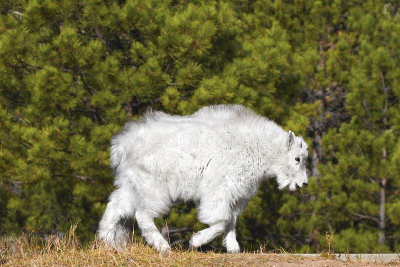Молодая коза горы в национальном монументе Mount Rushmore, США стоковые изображения rf