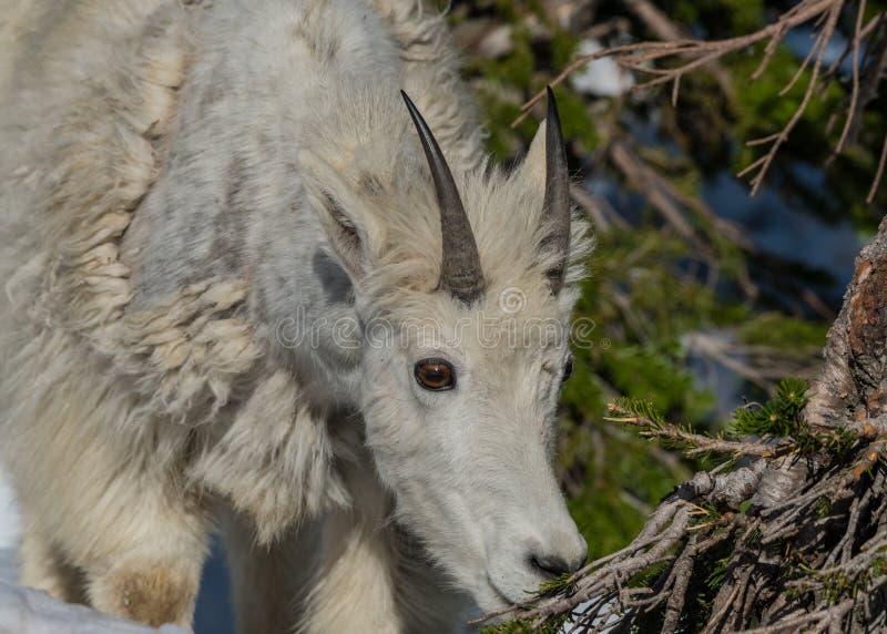 Молодая коза горы наблюдает ветвь сосны для закуски стоковая фотография