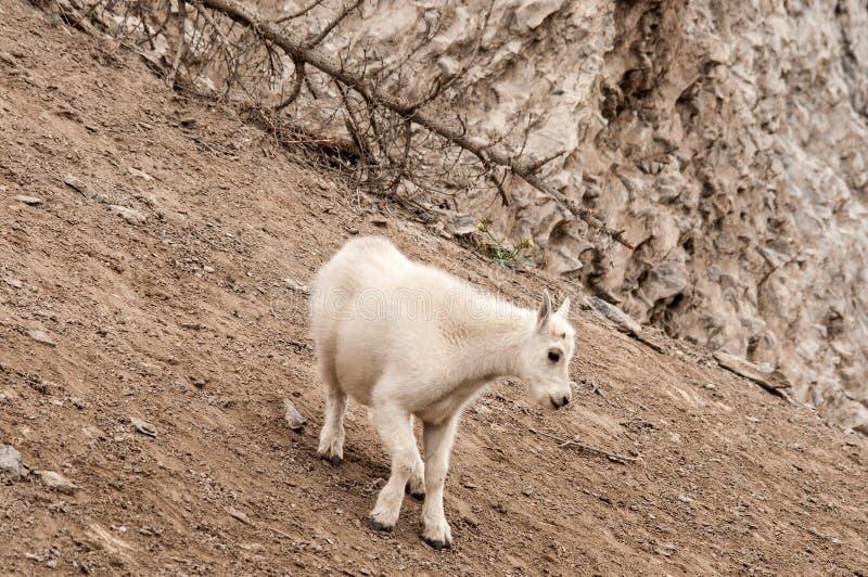 Молодая коза горы стоковое фото