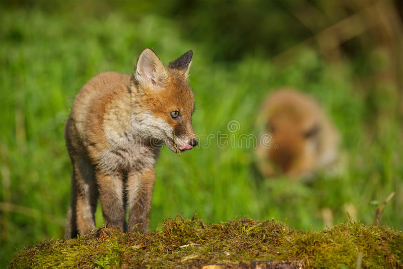 Молодая красная лиса открывая стоковые изображения