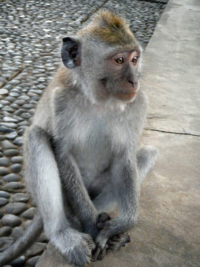 Молодая обезьяна смотрит в didstance стоковые фото
