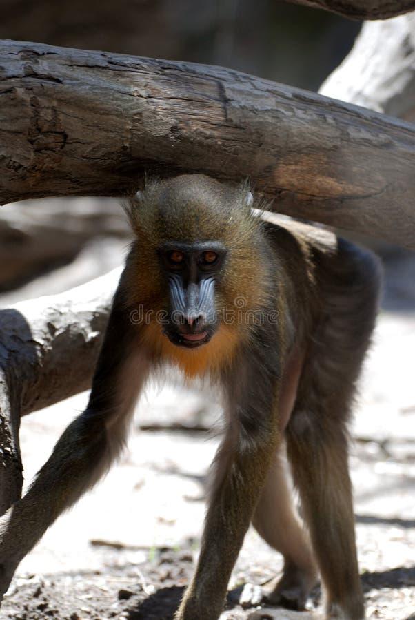 Молодая обезьяна Mandrill идя под деревянный журнал стоковое изображение rf
