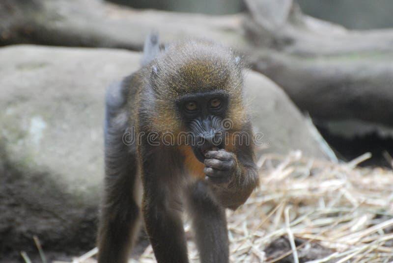Молодая обезьяна Mandrill Snacking на еде стоковые фотографии rf