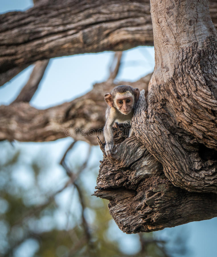 Молодая обезьяна Vervet играя главные роли на камере стоковые фотографии rf