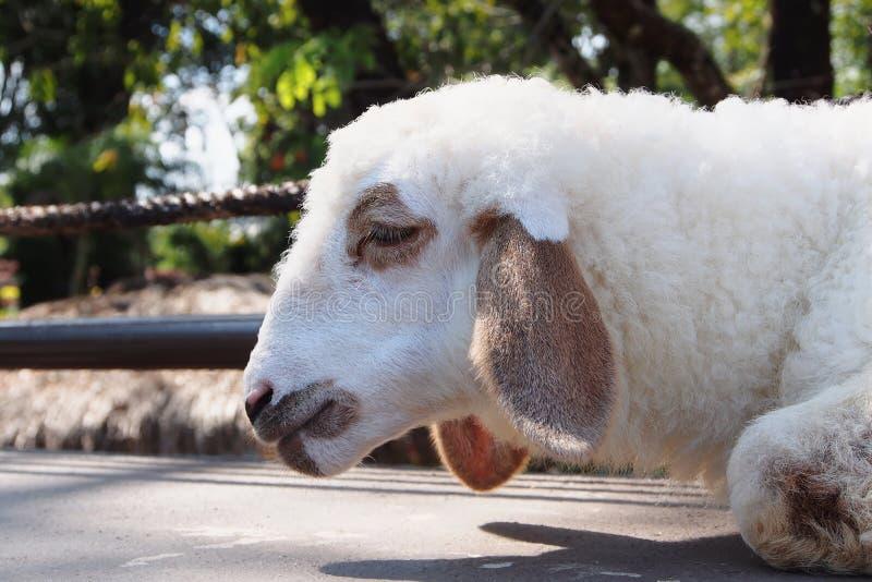Молодая овечка стоковое фото rf