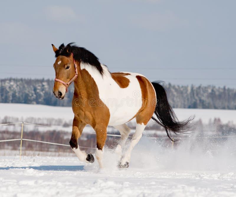 Молодая лошадь пегой лошади стоковое изображение rf