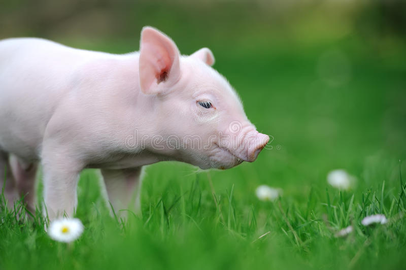 Download Молодая свинья на зеленой траве Стоковое Изображение - изображение насчитывающей green, лужок: 40584311