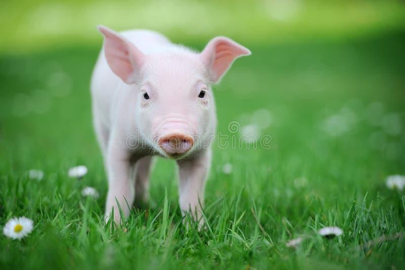 Download Молодая свинья на зеленой траве Стоковое Изображение - изображение насчитывающей пакостно, движение: 40584319