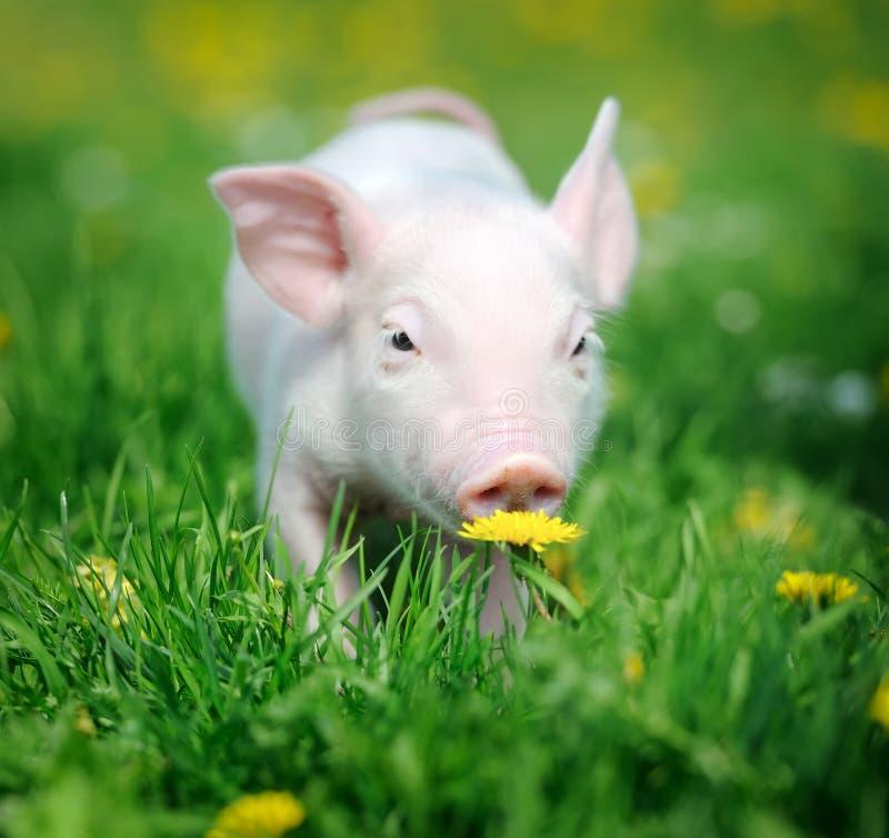 Download Молодая свинья на зеленой траве Стоковое Изображение - изображение насчитывающей скотины, тучно: 40584325