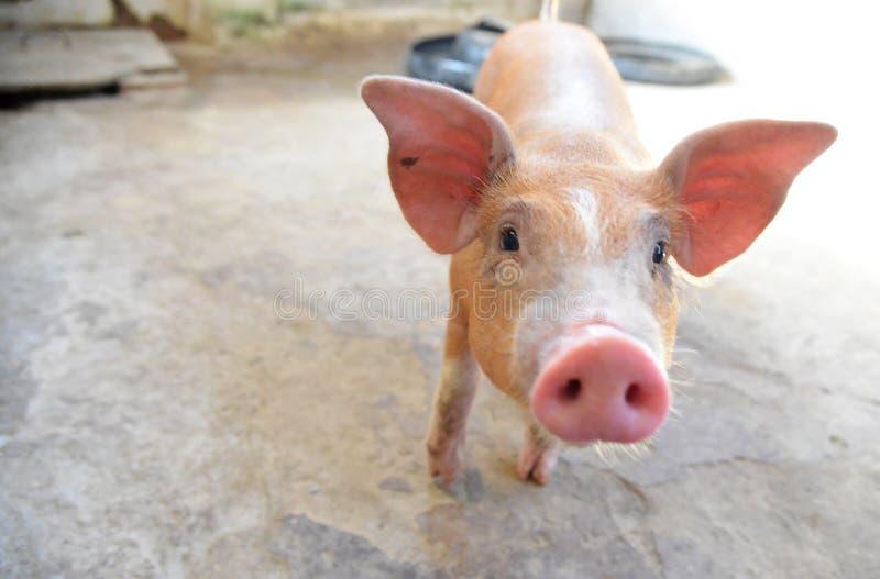 Молодая свинья стоковые изображения