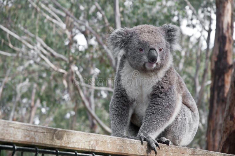 Молодая серая коала смотря к левой стороне стоковые изображения
