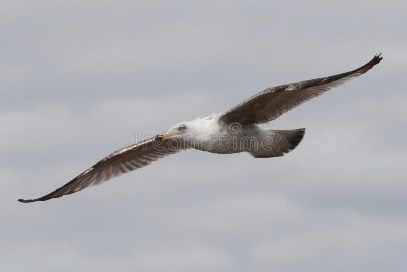 Молодая чайка стоковое фото
