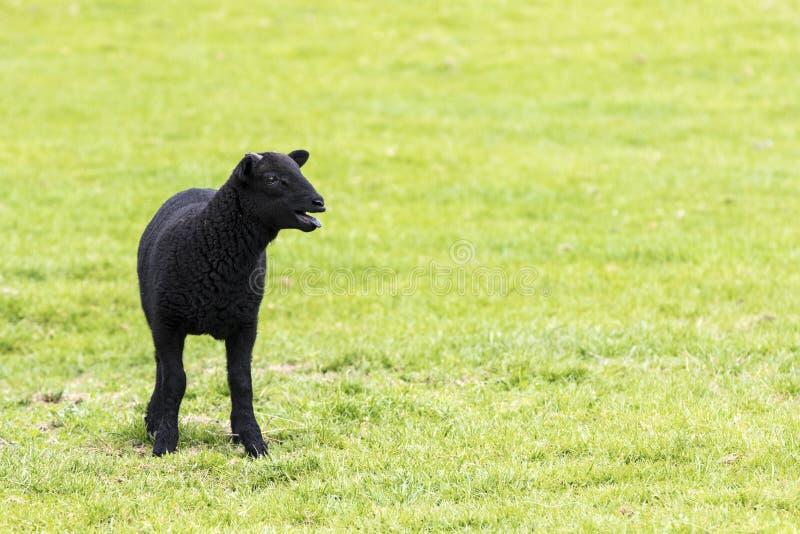 Молодая horned черная овечка блеяя стоковые фотографии rf