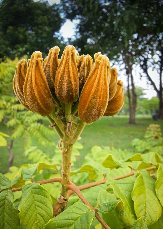 Молодое африканское дерево тюльпана стоковая фотография